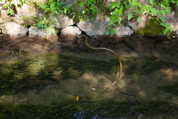 Huge snake in the waterway on the Philosopher's Walk